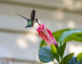 A hummingbird checks out a fading hibicus flower. (Photo by Rich Chapman)
